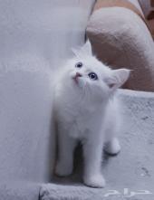 قطة صغيرة كتن شيرازي امريكي قطتين