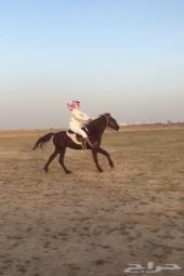 للبيع حصان مستعجل . الجمش _ الدوادمي