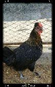 دجاج بلدي بياض الاحساء