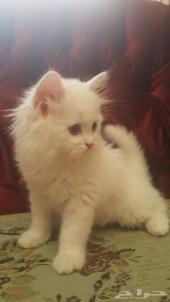قطط شيرازي صغيره لعوبه جداا  للبيع