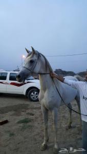 حصان عربي اصيل (صقلاوي جدراني)