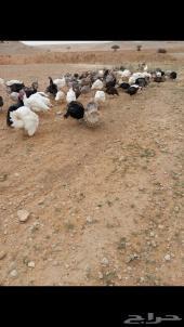دجاج رومي20... وديوك رومي20...