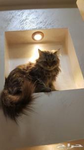 قطه تايقر بعمر 4شهور