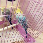 طيور الحب بادجي عدد3 مع قفص وملحقاته