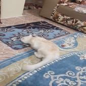للبيع قطوة شيرازي