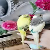 طيور أليف جدا ومغرده مناسبه للأطفال اليف جدا