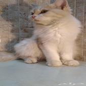 قطه للبيع شيرازي
