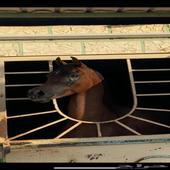 للبيع حصان واهو مصري حفيد الاسطوره ديسبرادو