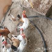 دجاج بلدي للبيع مع دياكه وصوص
