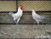 دجاج فيومي المنيوم للبيع