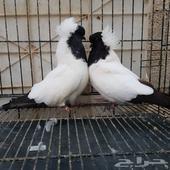 سوداني امريكي ارباش فاخر فاخر طيور من الاخر