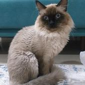 قطط هملايا سيامي