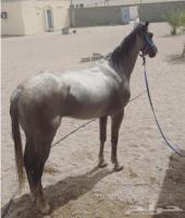 حصان البيع