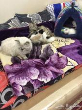 فرصة لمحبي القطط بالرياض للبيع كيتن شيرازي