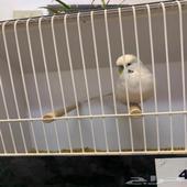 طير حب بادجي