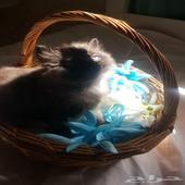 قطط صغيرة للبيع سكوتش شيرازي