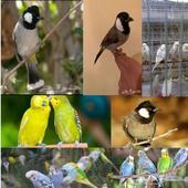 طيور الحب (البادجي) .. البلبل الحساوي