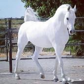 حصان مصري بيور للبيع