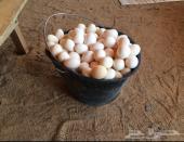 للبيع بيض بلدي الموقع ينبع