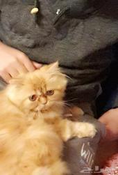 قطة هاف بيكي فيس