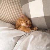 اريد قطة للتبني ارجوكم  تكون صغيره وخاليه تماما من الامراض