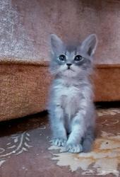قطة كتن صغيرة شيرازي . 3 قطط
