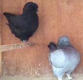 اليوم مزاد الطيور و الحيوانات الأليفة بنجران