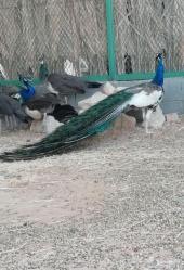 (تم البيع ) جوز طاووس أبرق فاخر