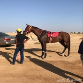 حصان عربي اصيل للبيع سرعه ومحقق واهو مسجل
