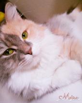 قطة شيرازي أمريكي مع أغراضها