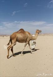 ناقة عمانية هجن