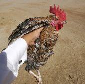دجاج بلدي مع الذبح