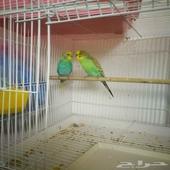 طيور الحب البادجي