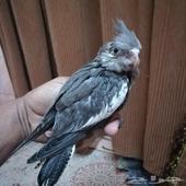 فرخين طيور كروان هولندية لمحبي الهدد والمربى