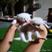 قطتين شيرازيه