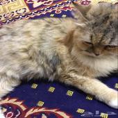 للبيع قط شيرازي انثى عمرها 8شهور