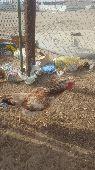 دجاج فارسي nجمله  700