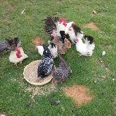مجموعة من الدجاج المسحب مستويات توب