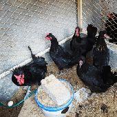 للبيع دجاج بلدي اسود الاحسا