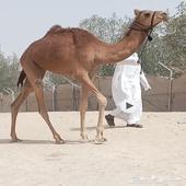 بكره هجن عمانيه