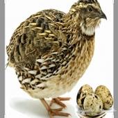 بيض - مطلووب بيض سمان مخصب
