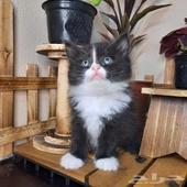 قطه شيرازي للبيع