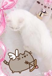 قطة شيرازية للبيع - نجران