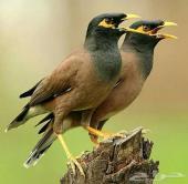زوج طيور مينا ب 300 ريال