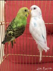 ازواج طيور حب ( انتاجات محليه )