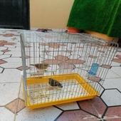 زوج طيور زينه للبيع