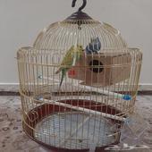 طيور الحب مع قفص ذهبي موقع الدوادمي