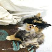 قطه للتبني