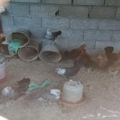 دجاج فيومي للبيع المستعجل