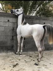 حصان شعبي سبوق وكفو